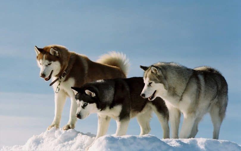 perros husky de Alaska
