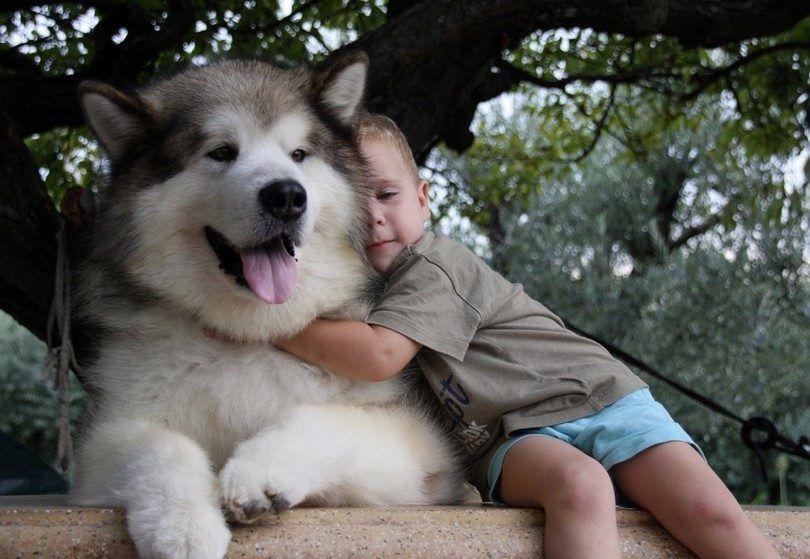 raza de perro malamute de Alaska
