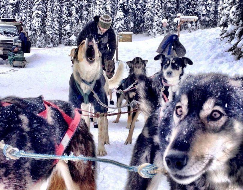 perros esquimales canadienses que tiran del trineo