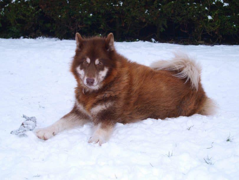 perro esquimal canadiense por el que se