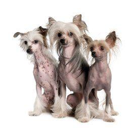 Todos los perros sin pelo sobre