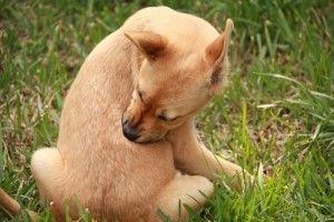 Las alergias en los perros-comunes tipos, síntomas, pruebas, medicamentos y remedios caseros