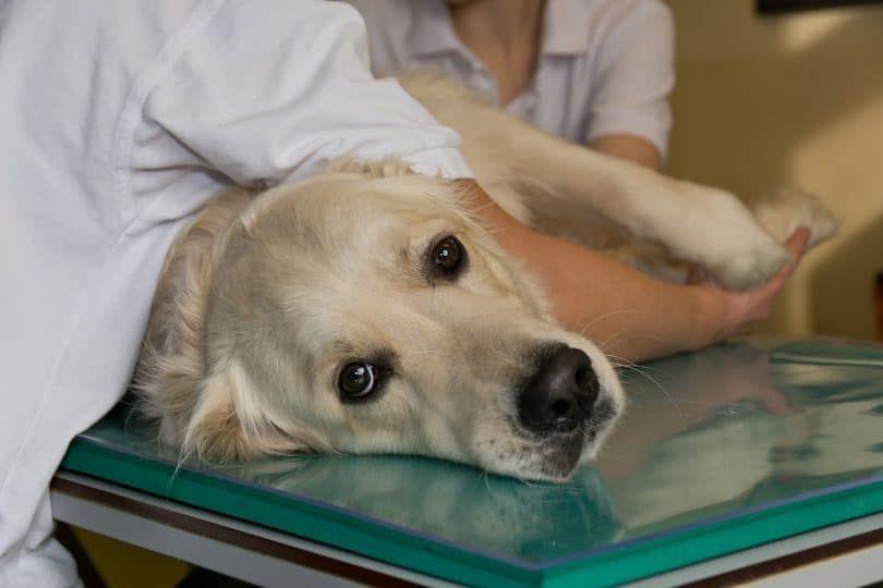 inmunoterapia perro