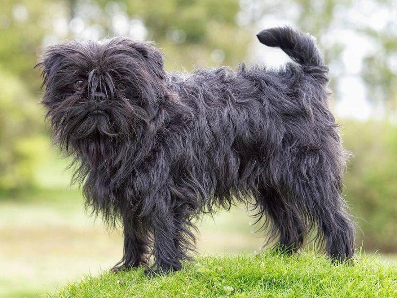 La raza del perro del Affenpinscher