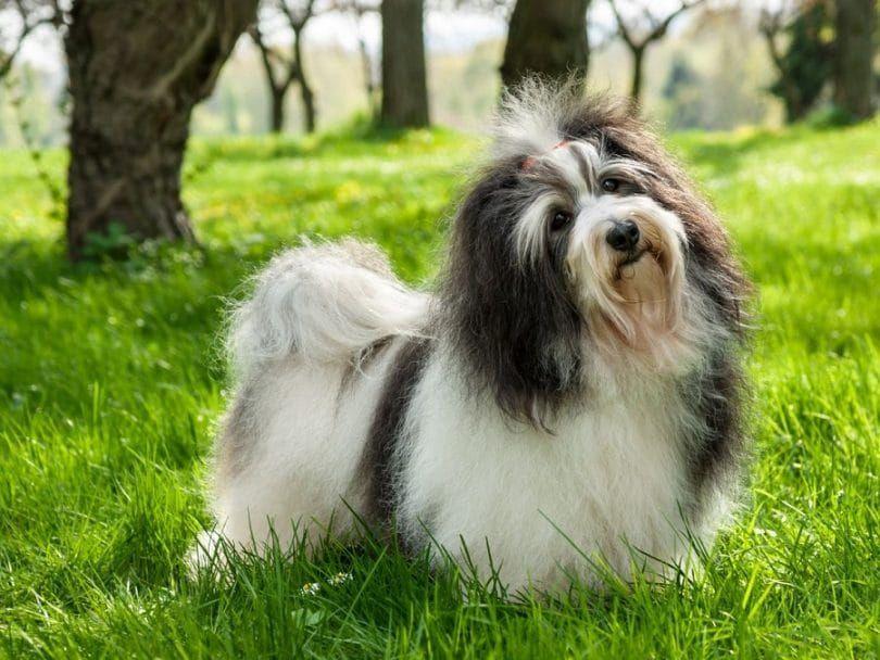 El Havanese perro de raza