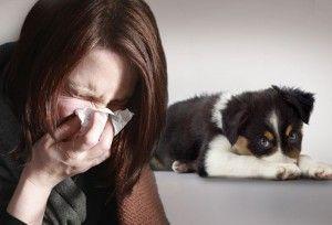 La alergia a los perros: síntomas, el alivio de la casa y los perros para alérgicos