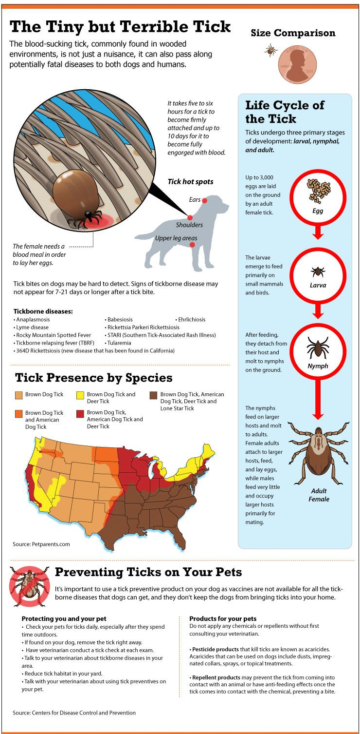 Anaplasmosis en perros: qué es y cómo reconocerlo