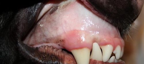 La anemia en los perros, causas, síntomas, tratamiento, complicaciones