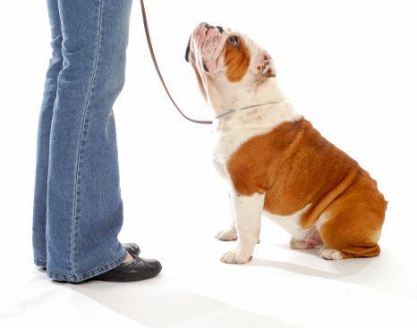 Pregunta al entrenador: ¿cómo puedo llegar a ser un entrenador de perros certificada, también?