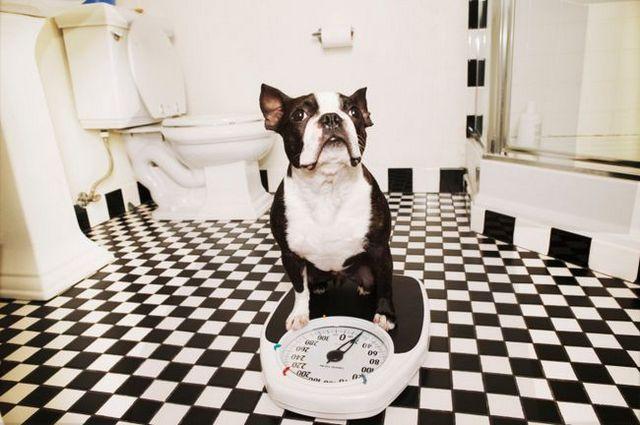 Pregunta al entrenador: ¿cómo puedo ayudar a mi perro a perder peso?