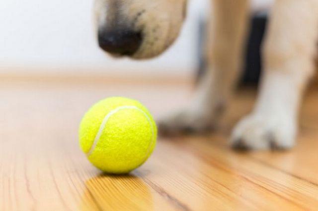 Pregunta al entrenador: cómo jugar a la pelota con su perro