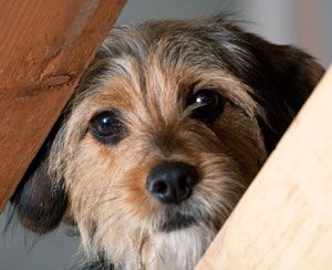 Pregunta al entrenador: mantener a los perros en calma en un hogar caótico