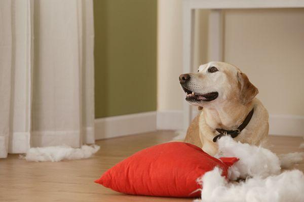 Pregunta al entrenador: mi perro destruye todo lo que se puede obtener en sus patas!