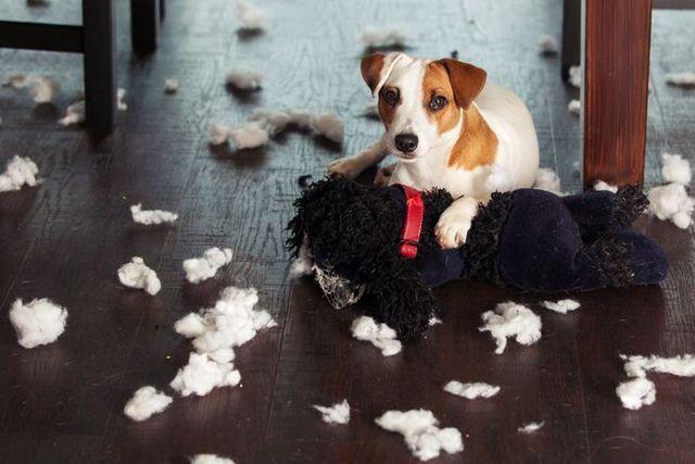 Pregunta al entrenador: mi perro destruye todo cuando está solo en casa!