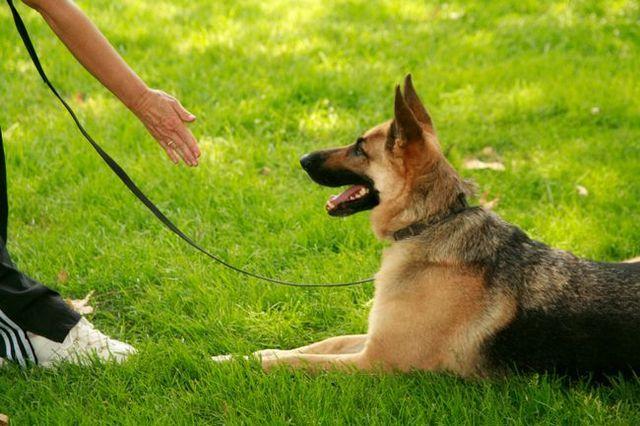 Pregunta al entrenador: enseñar a su perro cualquier comando de la obediencia