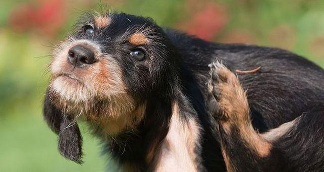 Pedir al veterinario: terrier picazón
