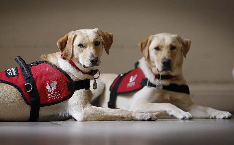 Los perros de asistencia que esperan comandos