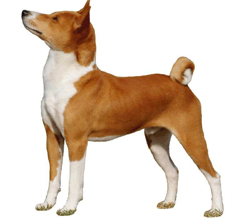 la raza del perro de Basenji
