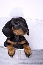 Doxie Puppy tomar un bate