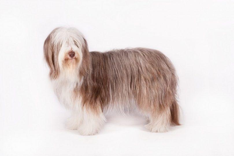 Barbudo perro de raza collie
