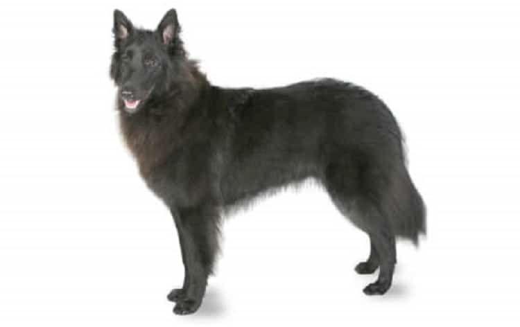 Belga del perro pastor