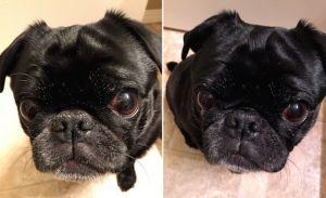 Beneficios del aceite de coco para la piel del perro