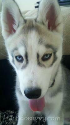 Los mejores nombres del perro de alaska