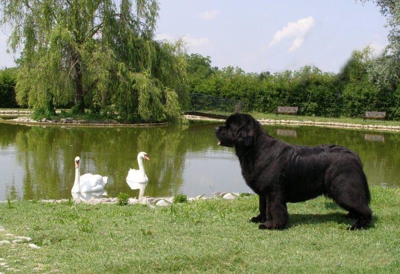 la raza del perro de Terranova