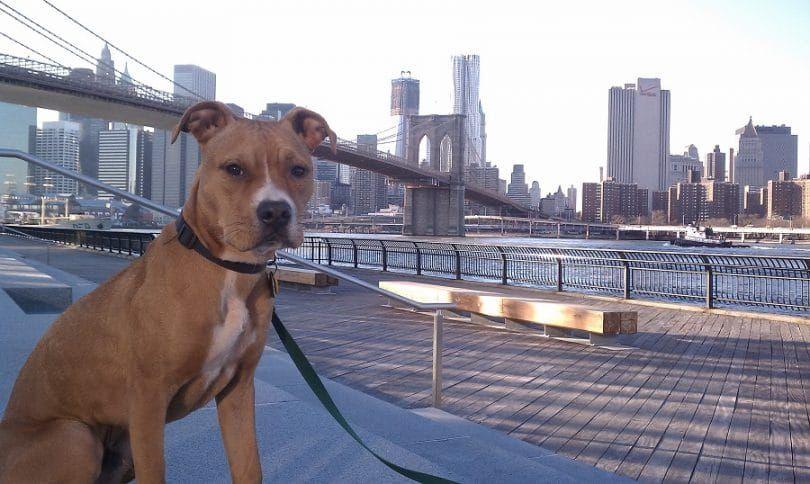 El Pit Bull Terrier Americano