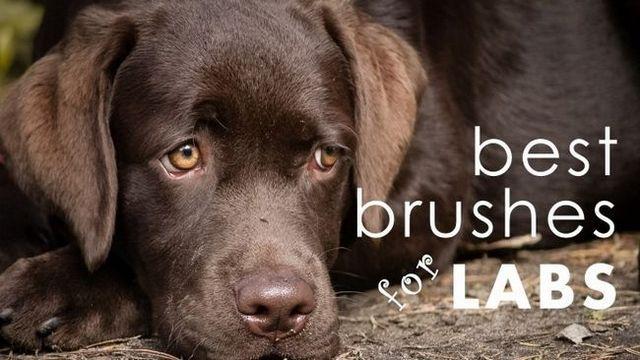 Mejor cepillo del perro para los laboratorios: lo mismo que el veterinario (sólo para menos)