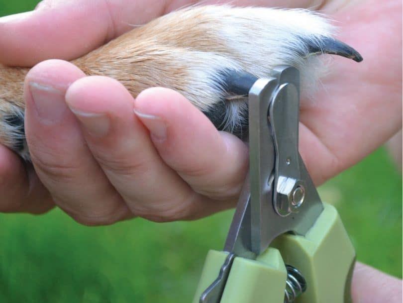 Safari Profesional grande del clavo del condensador de ajuste para los perros