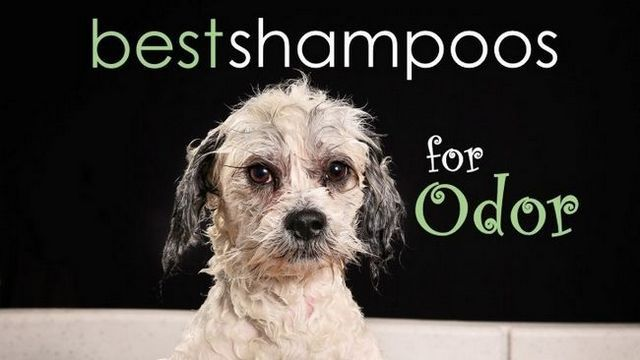 El mejor champú para perros de olor: aplastar el hedor!