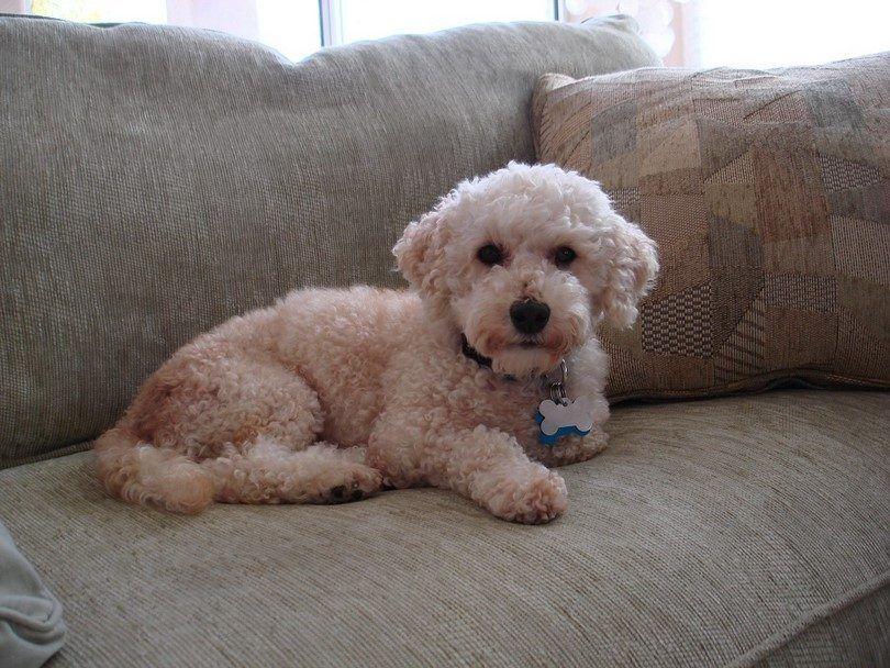 Los mejores perros para los apartamentos: 20 principales muestras caninas que caben en