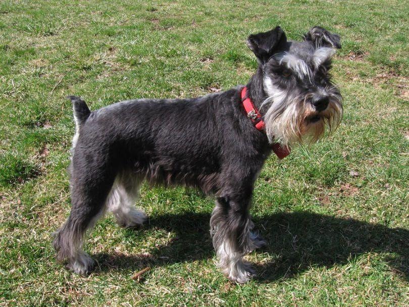 ¿Qué raza de perro es el adecuado para mí: la elección entre los grupos de razas de perros 10