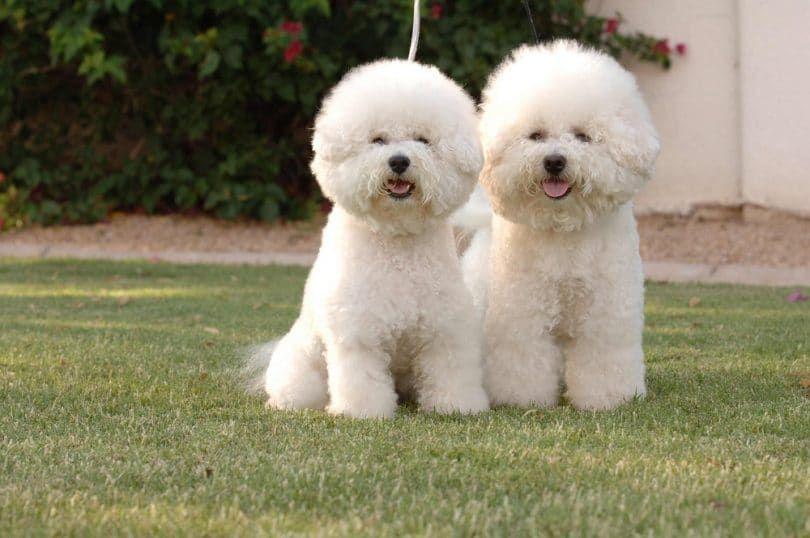 perros de Bichon Frise