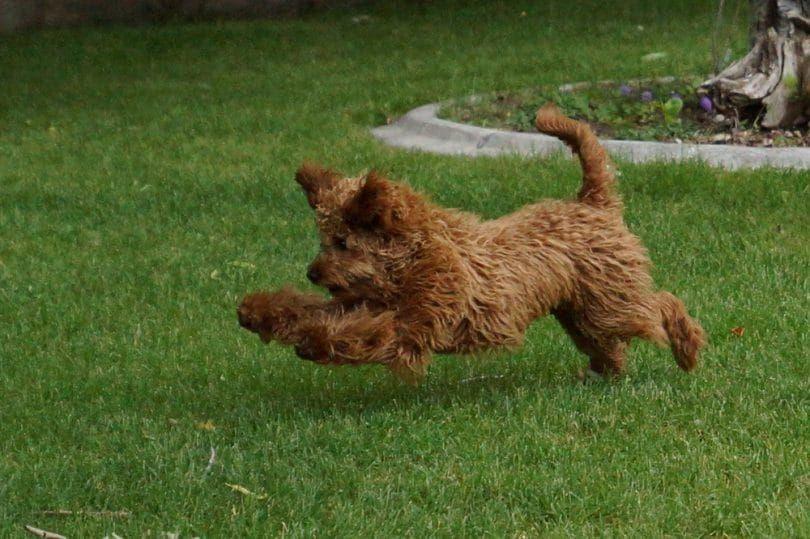 correr labradoodle
