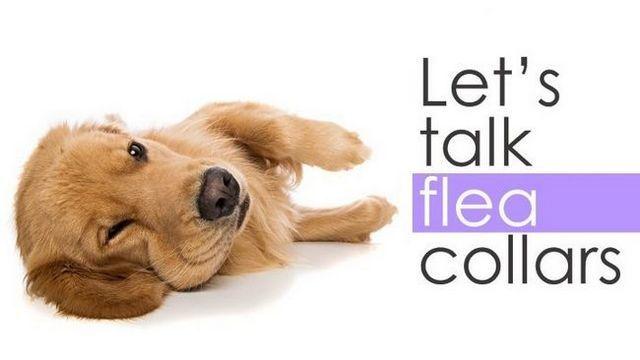 El mejor collar antipulgas para perros: detener el rascado!