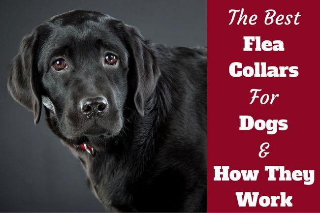 Las mejores collares antipulgas para perros - más cómo funcionan, se debe utilizar uno?
