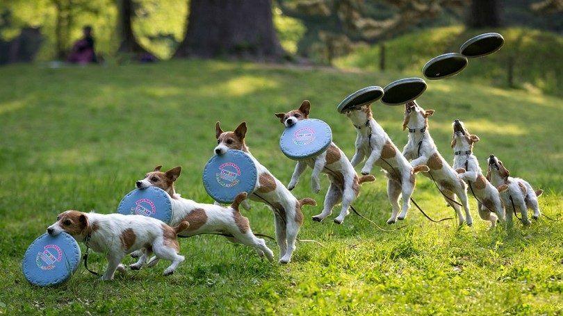 Los mejores perros frisbee: top 6 razas que les gusta jugar al frisbee