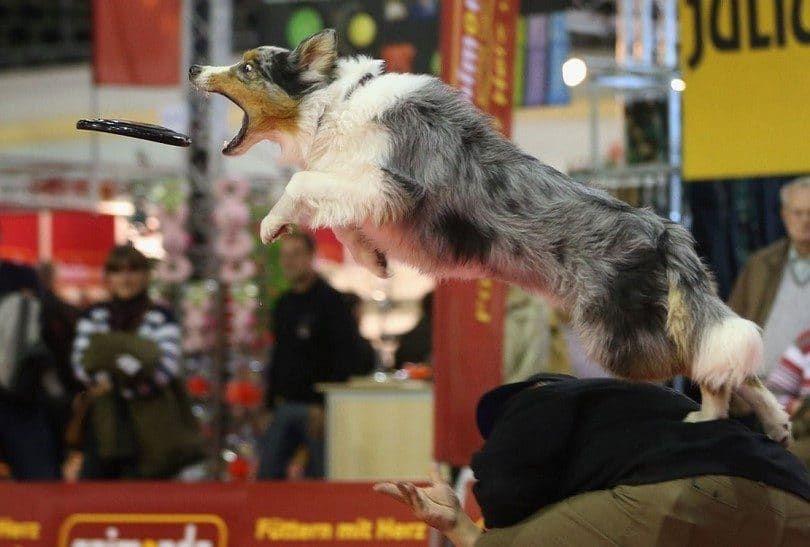 El perro pastor australiano