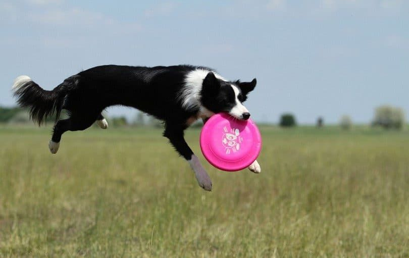 Border Collie con el disco volador