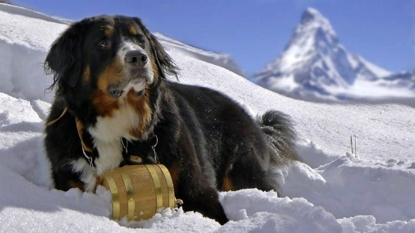 Perro de montaГ±a de Bernese