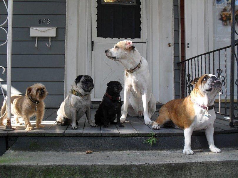 Perro de casas