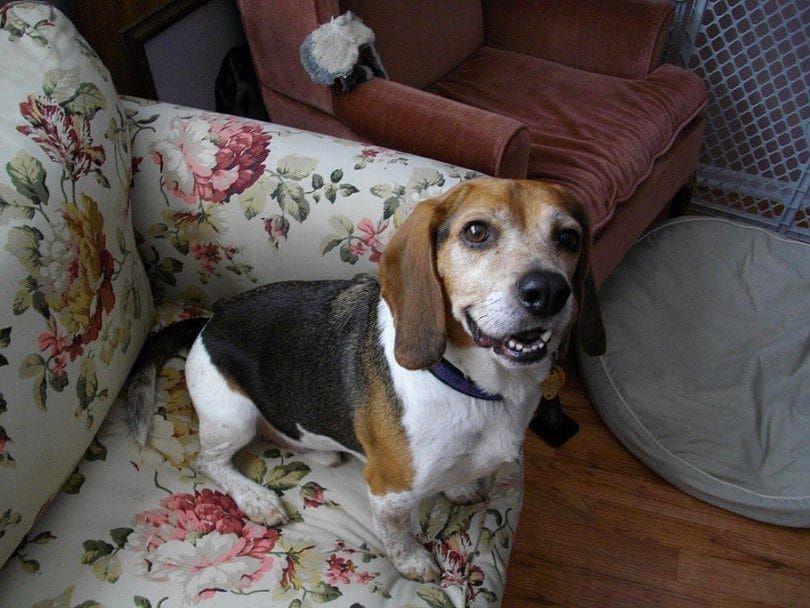 El beagle en el sofá