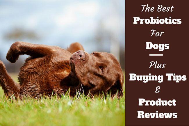 Las mejores probióticos para perros - 5 mejores opciones y opiniones