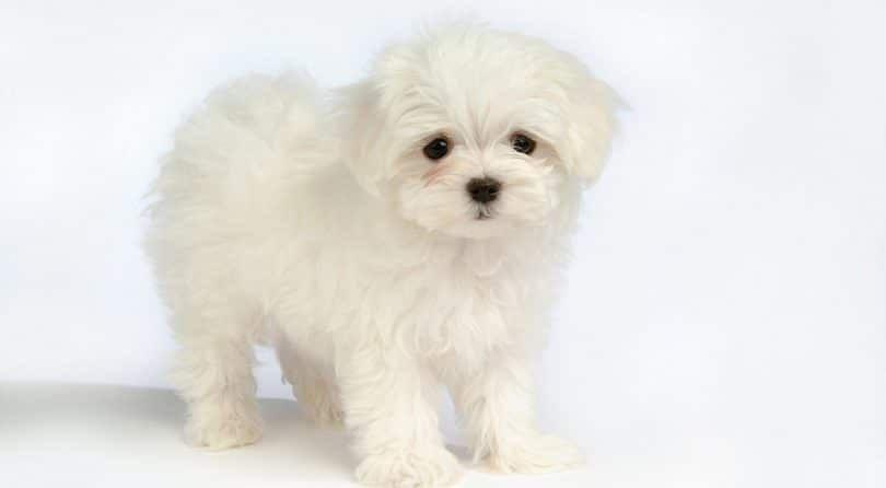 perro Bichon Bolognese