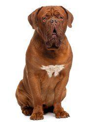 Problemas de salud perro grande