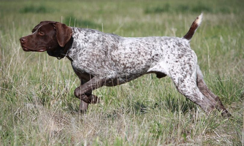 Wirehaired alemana