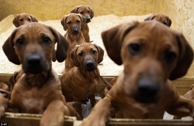 Control de la natalidad para perros: su compañero de sobra las dificultades de la paternidad