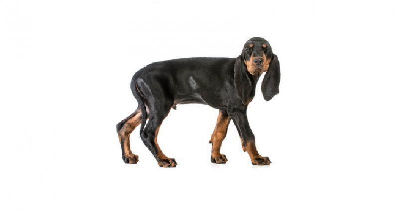 Negro y Tan Coonhound